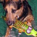 german shepherd dog doing water therapy