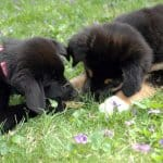 two puppies playing in grass