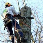 tree service contractor removing a sweet gum tree