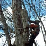 tree service expert removing a 90-foot tree