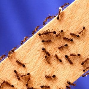 how to get rid of a large ant colony