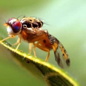 While mainly a nuisance, fruit flies can also contaminate your food and spread bacteria. (Photo by Scott Bauer, USDA)