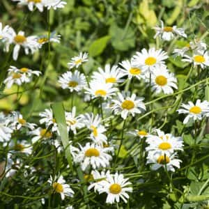 Daisy flowers in Indianapolis