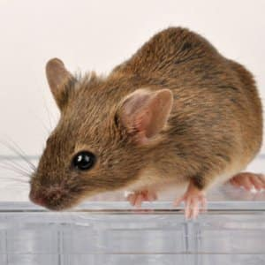 Yes, he's cute but mice have bad habits and can spread disease. (National Institutes of Health)