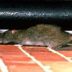 Rat crawling on brick floor