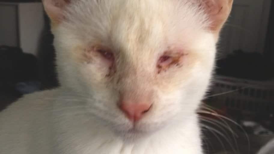 Doctor restores blind cat's eyes