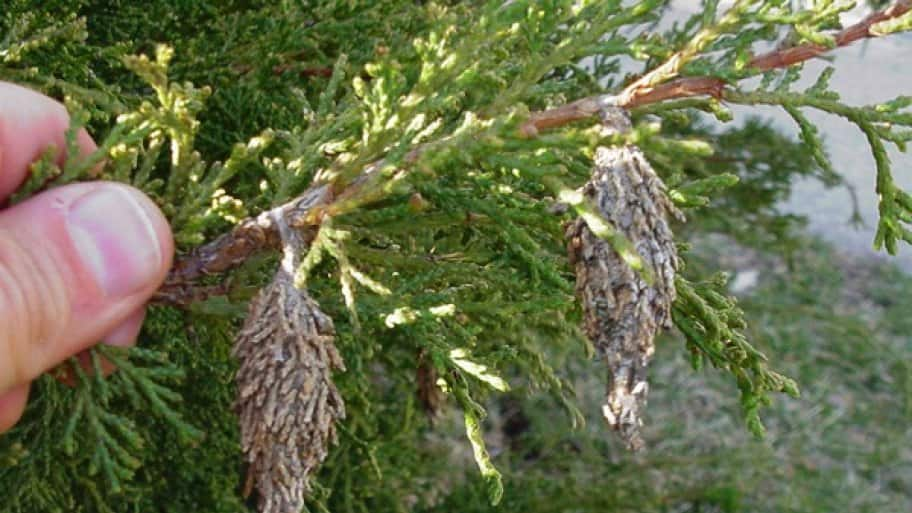 Bagworms, which grow in bag-like cocoons, can cause significant damage to trees. (Photo courtesy of the Purdue Extension.)