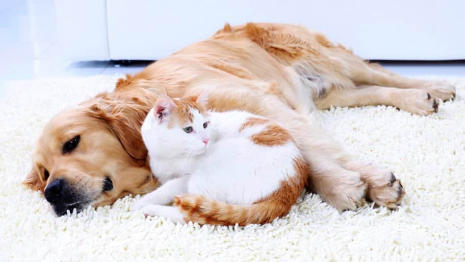 How To Introduce A Large Dog To Cats