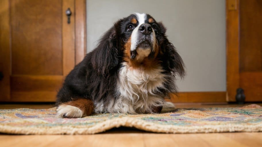 pet dog sits on rug (Photo by Brandon Smith)
