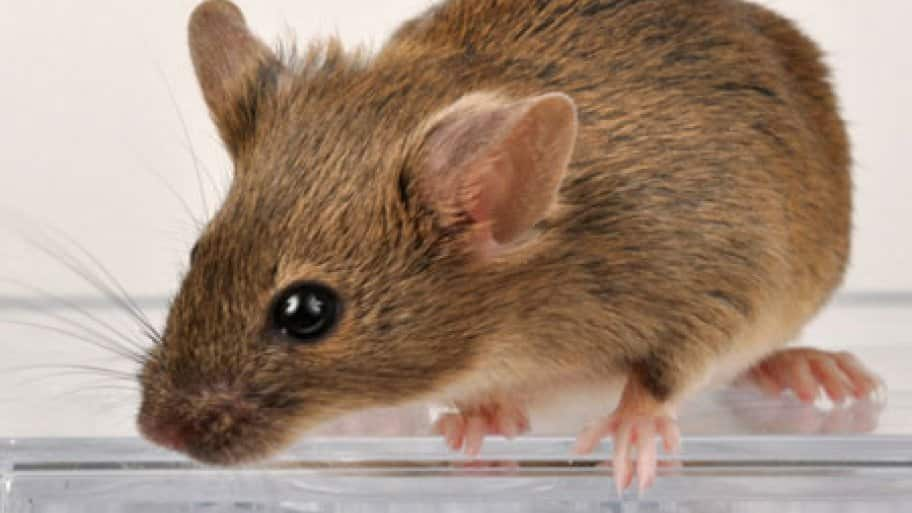 Winter Weather Sends Mice and Rats Indoors | Angie's List