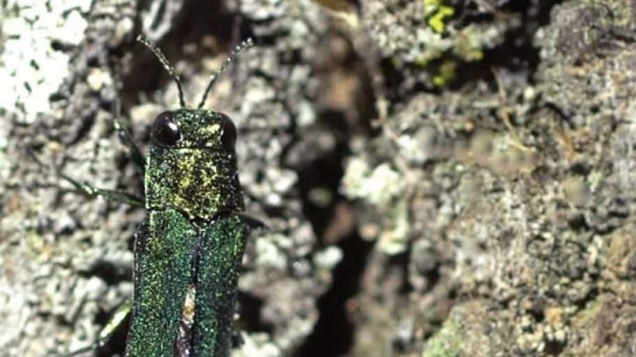 Emerald ash borers can wreak havoc on ash trees.