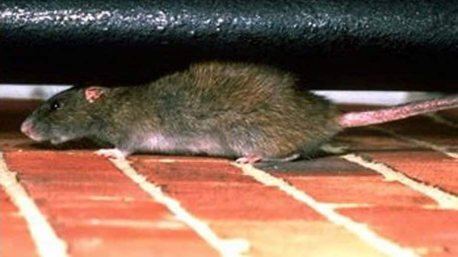 Rat crawling on brick floor