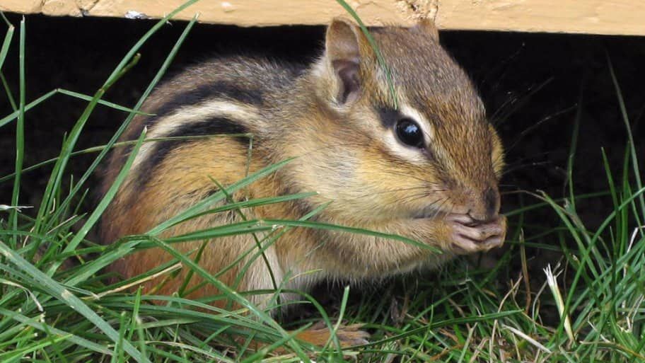 Heres how to keep rodents out of a porchs or decks underbelly when the weather turns cooler rodents and other animals seek shelter dont make the area underneath your deck or porch a possibility for rodents sciox Image collections
