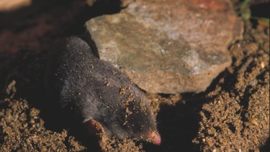 Rarely surfacing, moles can tunnel up to 60 yards a day. (Photo courtesy of the Indiana Department of Natural Resources)
